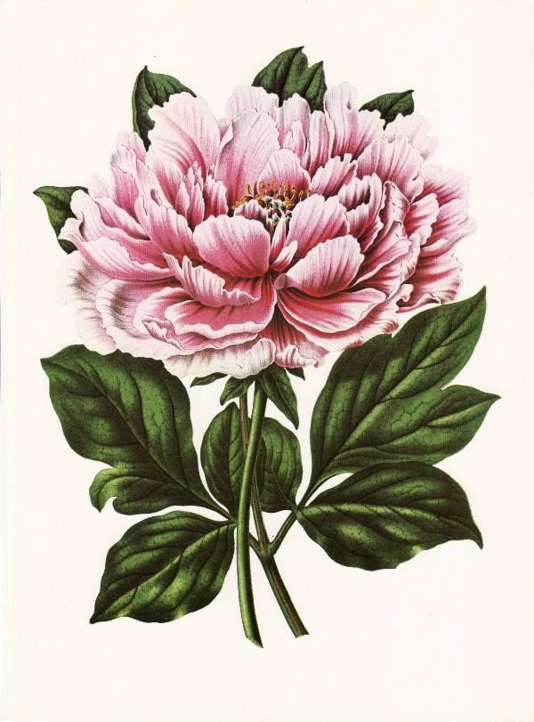 Peony Tattoo http://wordplay.hubpages.com/hub/vintage-victorian-flowers-and-fruit