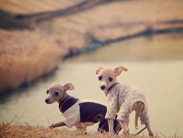 italian greyhound puppies in their sweaters.