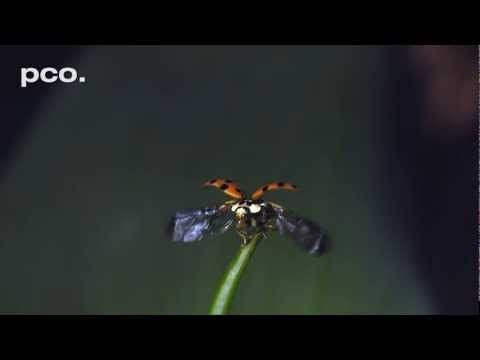 A ladybug prepares and takes off for flying away. The sequence was recorded by cameraman Rainer Bergomaz from Blue Paw Artists with a pco.dimax HD at 3000 frames/s and 1296 x 720 pixel resolution. The first part is displayed at 250 frames/s and when the ladybug starts to unfold its wings the display speed is reduced to 25 frames/s.