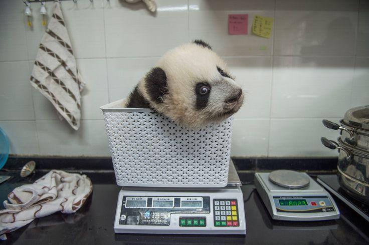 Categoria natura. Un cucciolo di panda viene pesato in un centro a Bifengxia, in Cina, 2017. - (Ami Vitale)