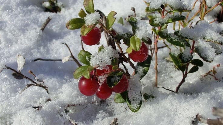 Frozen ligonperries