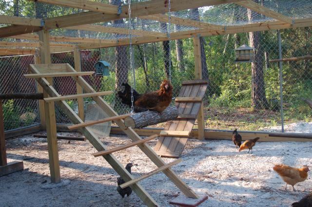 http://www.backyardchickens.com/forum/uploads/69010_chicken_swinging_001.jpg