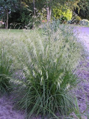Vijver en Tuincentrum Pelckmans: Deschampsia cespitosa (Smele)