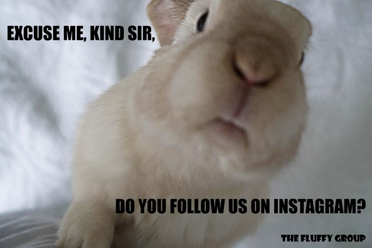 DO YOU? Follow The Fluffy Group on Instagram, Facebook and Pinterest. Memes, bunny care tips and tricks, and simple adorable photos of the bonded neutered cage-free duo. <3