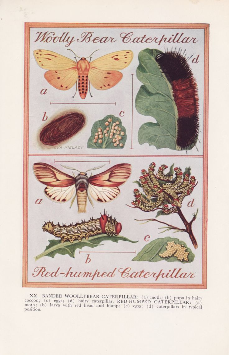 Gardner's Bug Book Prints. Woolly Bear Caterpillar. Red-Humped Caterpillar. Beet Leafhopper. Six-spotted leafhopper. Eva Melady. 1964 by DustCoverPaperati on Etsy