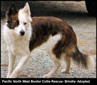"""Well well, is that a white and brindle registered(!) border??  -- """"The above dog is the same color as Blizzard is! He was registered with the AKC as a Sable and White dog. That is what the breeders told me he was. HOWEVER, eventually I found out that a border collie CAN come in a brindle too!"""""""