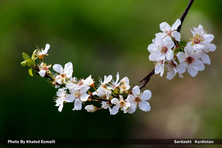 Almond blossoms by Khaled Esmaili on 500px