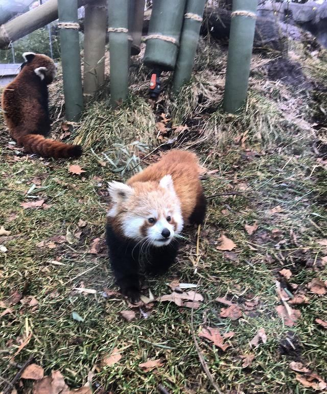 Please Follow Iloveredpandas Caught A Glimpse Of This 5mo Old Cutie Gimli And His Mom Today At The Franklin Park Zoo Redpand Spirit Animal Animals Red Panda