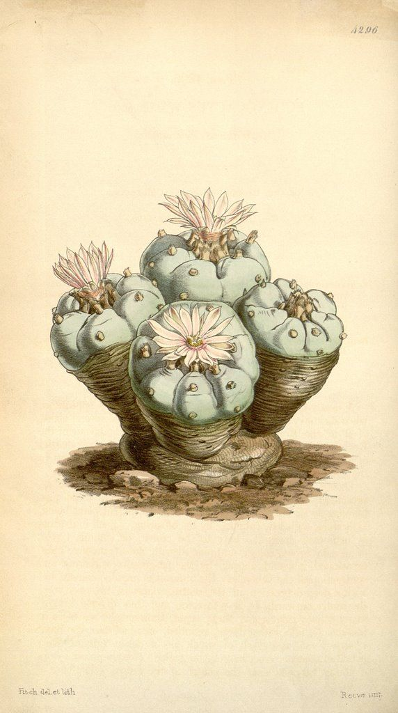 Curtis's Botanical Magazine. Lophophora Williamsii (Peyote). 1847.