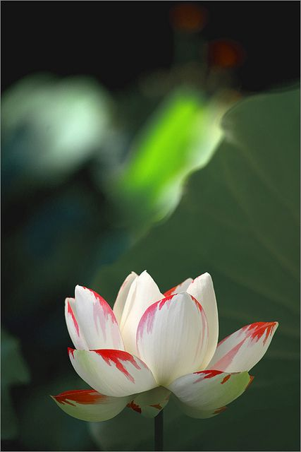 best lotus flowers  water llilies images on, Beautiful flower
