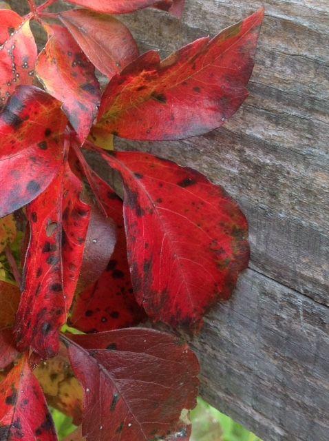 Virginia creeper in autumn, www.purplepottingshed.com