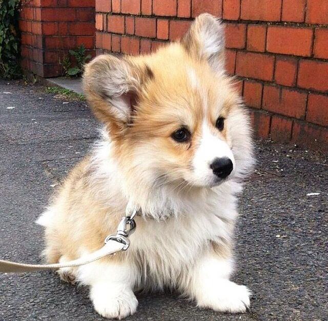 A fluffy corgi! Where can I get one (or two)?