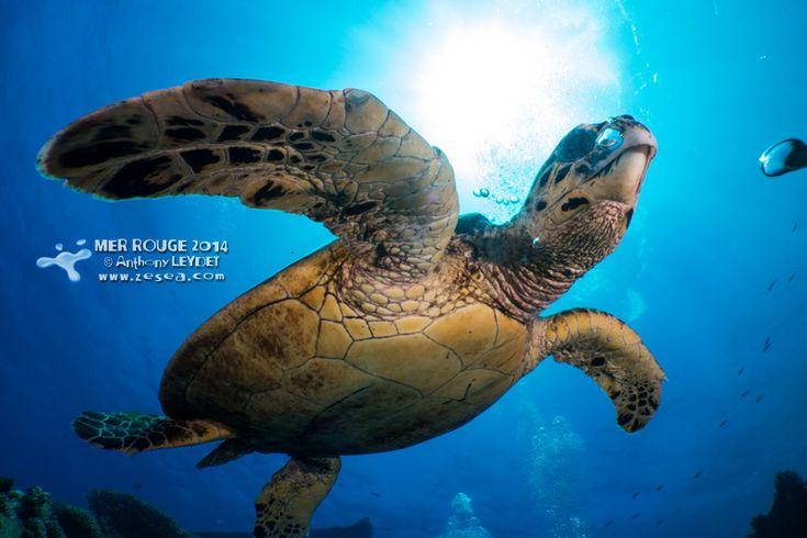 Tortue du Ghiannis D #turtle #tortue #plongée #Egypte
