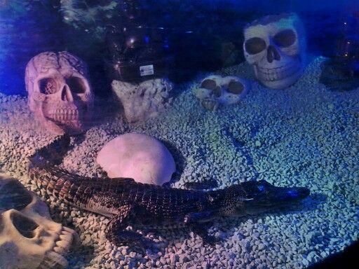 Crocodile siam from indonsia