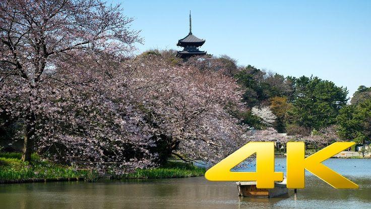 Sakura around Sankei-En pond - 三溪園の桜 - 4K Ultra HD 🌸 🗼 🇯🇵