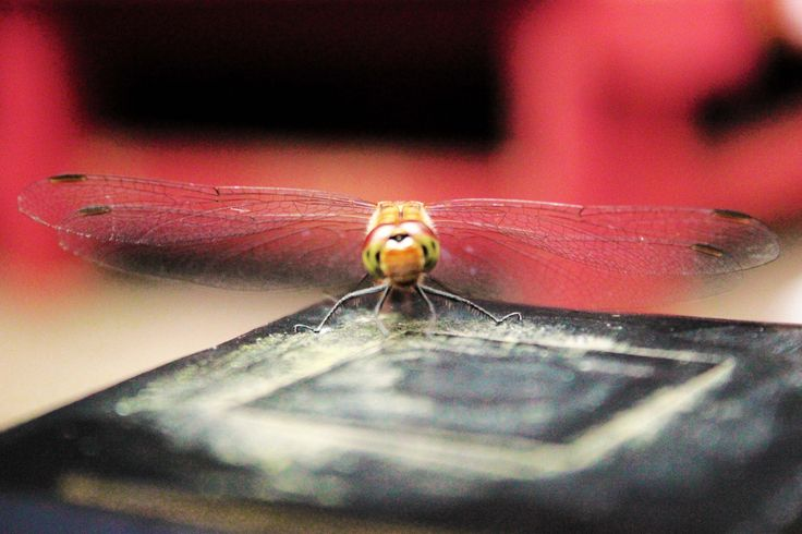 https://flic.kr/p/LN2pXR | Dragonfly at Nikko
