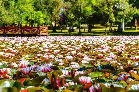 Laguna con lotos en Parque Saval Valdivia