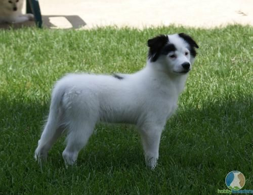 husky pomeranian mix | Pomeranian Husky Mix Dogs For Sale ...