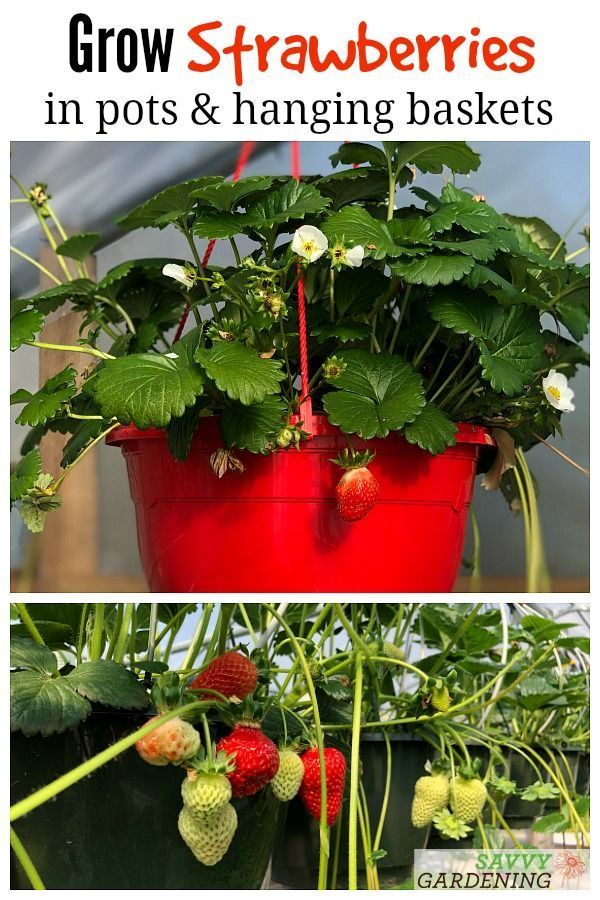 Growing Strawberries In Pots And Baskets How To Plant Grow