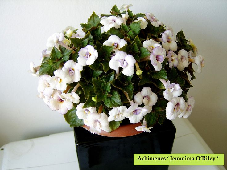 Achimenes ' Jemmima O'Riley ' | Flickr - Photo Sharing!