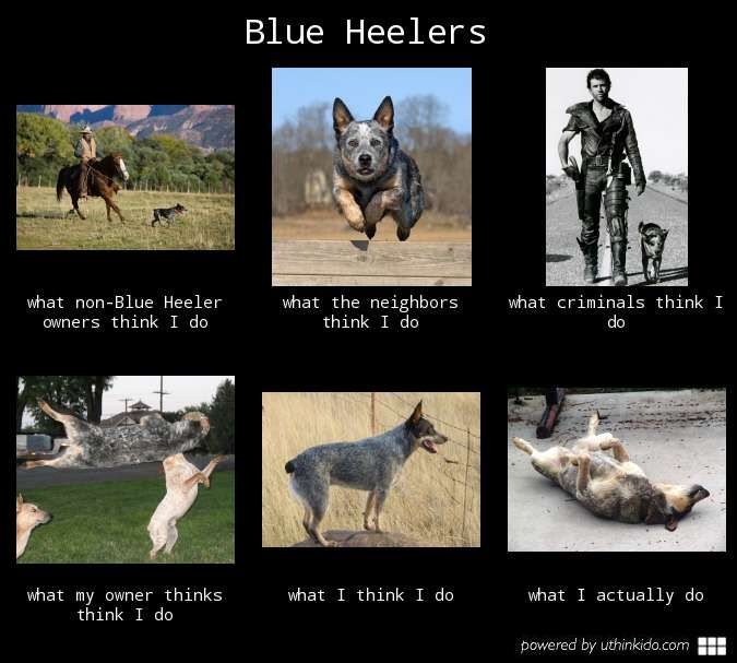 Blue heelers - What people think I do, What I really do