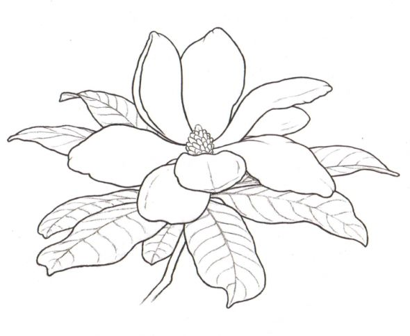 Magnolia Flower Line Drawing : Best images about magnolia on pinterest blossoms