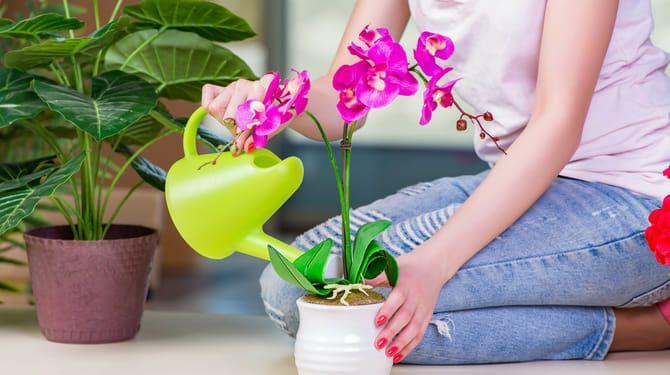 Korene orchidey nesmú stáť vo vode.