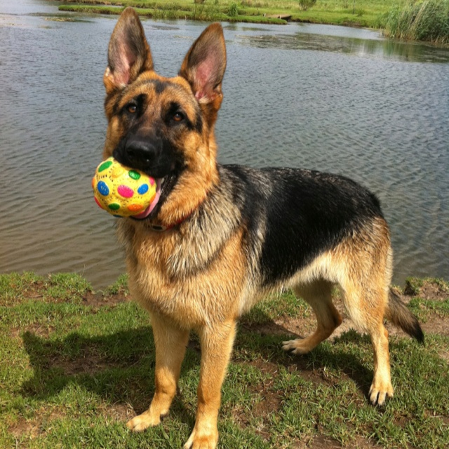 Resultado de imagen para german shepherd dog, toys