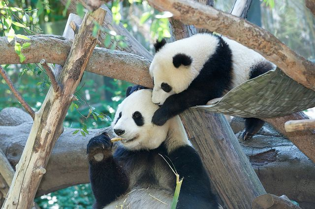 Mr. Wu drops in on Momma | Bai Yun was trying to enjoy her l… | Flickr