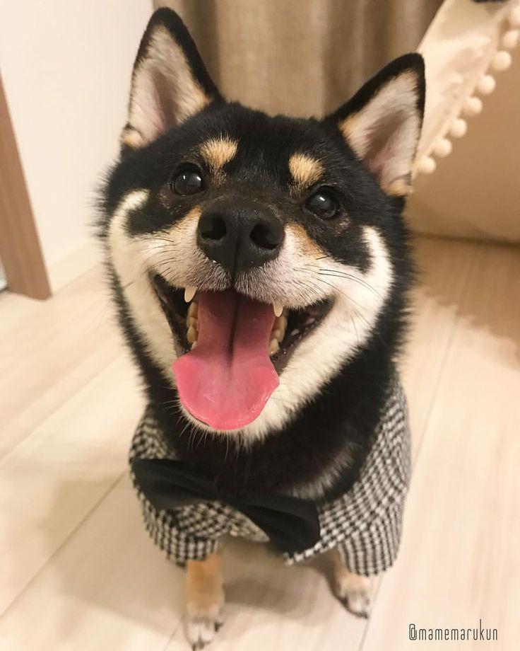 * * 今日は『冬のこいびとの日❤️』なんだって🐶💓 ぼくもかのじょほしいなー❣️ * smile🐶💓 * #これお見合いしゃしんにしようかな💓 #あっはなみずでてる🐶💦 #バレンタインとホワイトデーのまん中の日なんだって💝 #まめスマイル ☺︎ * #柴犬#豆柴#柴#黒柴#犬#しばいぬ#shiba#shibainu#shibastagram#shibadog#shibalove#puppy#instadog#dogstagram#dog#pet#petstagram#adorable#kawaii#cute#cutedog#worldofcutepets#dailyfluff#weeklyfluff#タキシードまめ丸#まめ丸何の日シリーズ