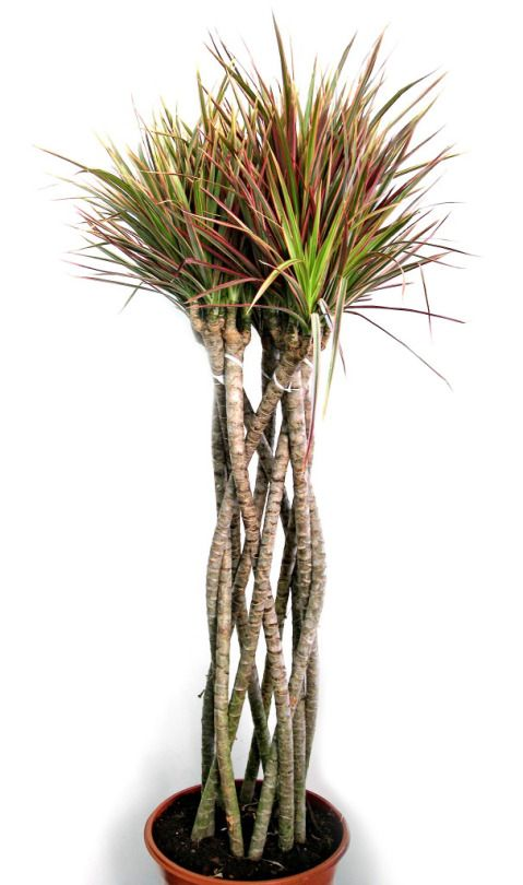 42 best dracaena marginata care images on pinterest for Plante dracaena