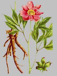Basic Botanical Data Identification of White Peony Root.Radix ...