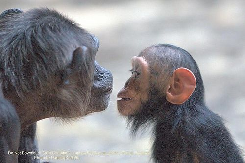 Baby Chimp and Mum, Monkey...    Like, share http://www.celebritybabyclothes.com/