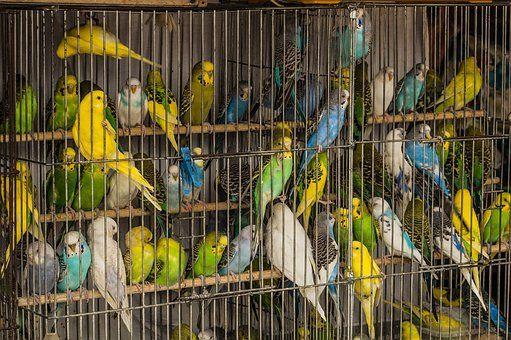 Cage, Perroquets, Oiseaux, Mnoga