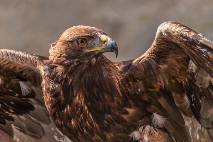 Eagle - Eagle