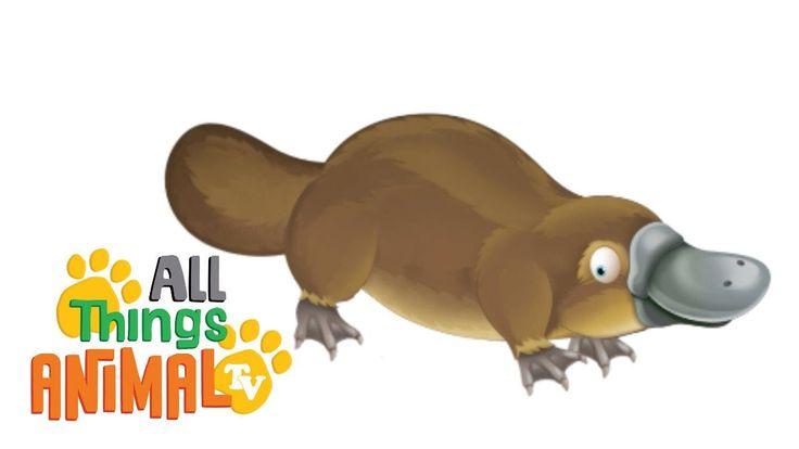 PLATYPUS: Animal videos for children| kids| toddler. Preschool & Kinderg...