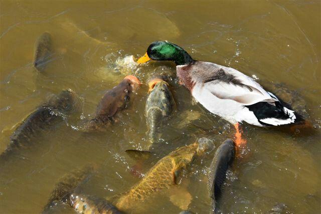 Duck feeding fish??