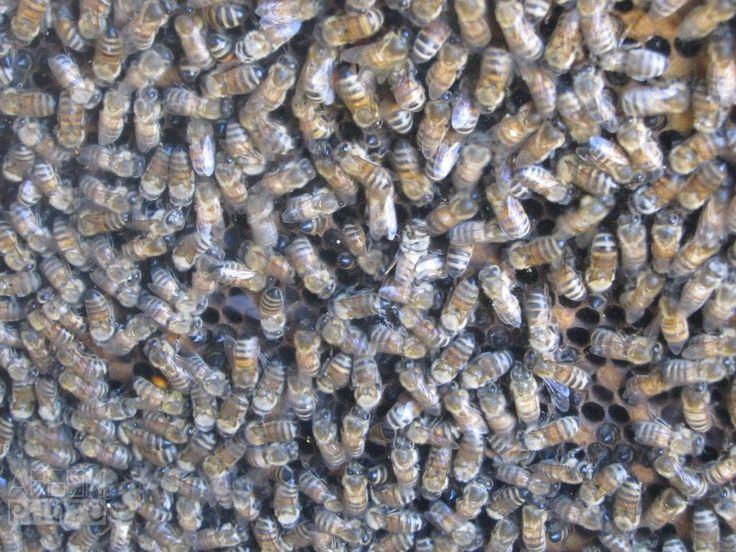 Textura de enjambre de abejas. Texture of swarm of bees.