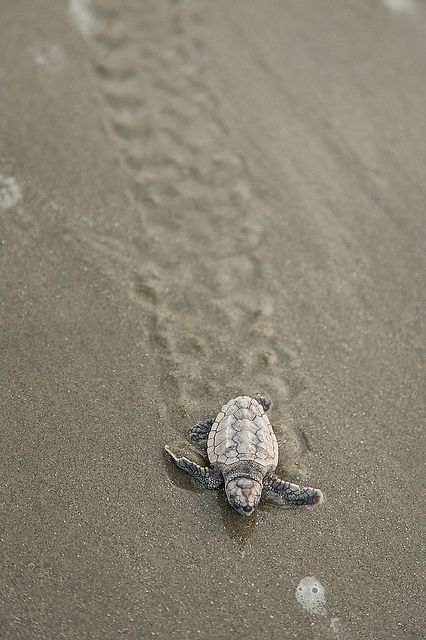 ayustar:    Baby Loggerhead Turtles Rescued by Richard Ellis Photography on Flickr.