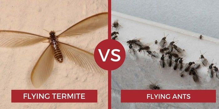 Flying Termites Vs Flying Ants With Images Flying Termites