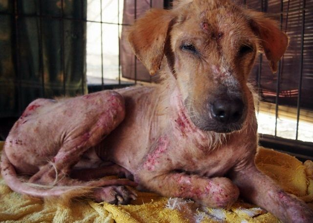 Koko was found by one of BAWA's community friends at Echo Beach, Canggu. He had a terrible skin condition and had been abused beyond belief by the people in his community. We rescue Koko and...