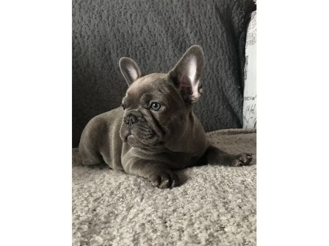 3 Girls Blue Kc French Bulldog Puppies Ready Now