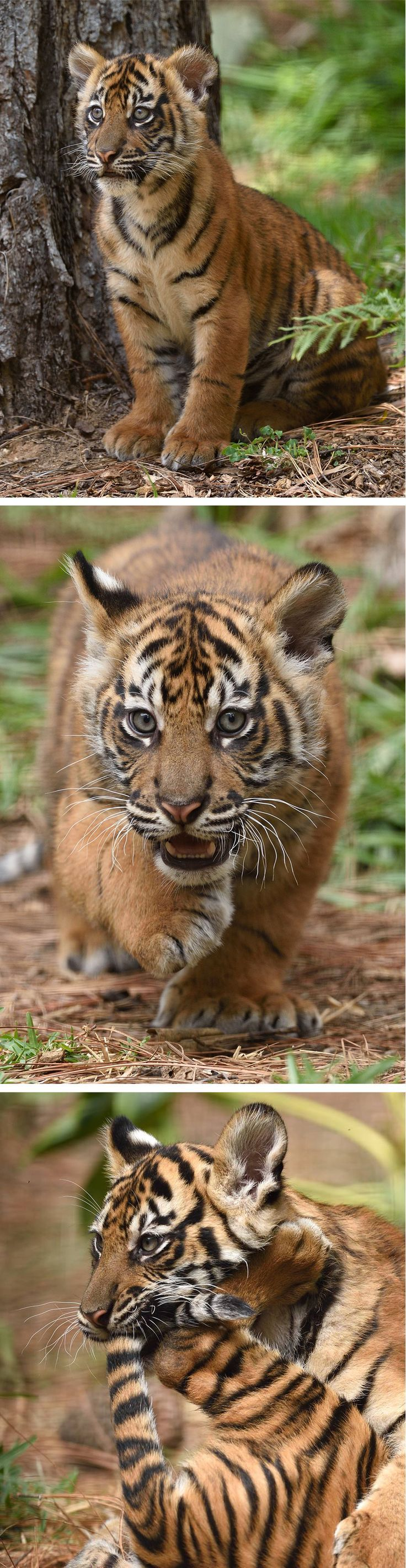 Sumatran tiger cubs Debbie, Cathy, and Nelson are melting hearts at the Safari Park. Photos by Debbie Beals