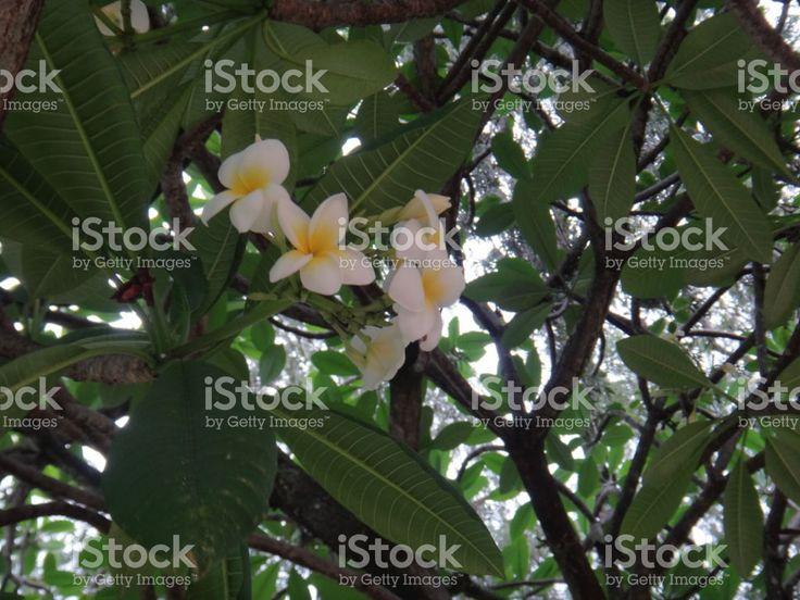 Plumeria - ramos com flores foto royalty-free