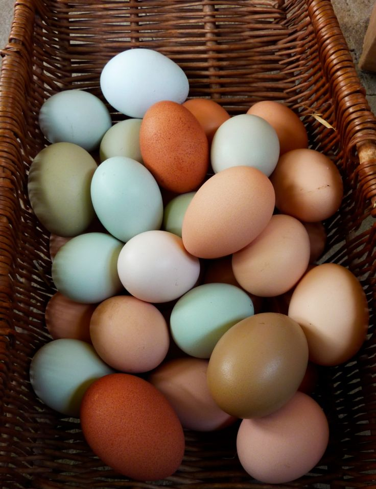 chicken breeds egg layers | Easter Egg Layer Chickens | Chickens ...