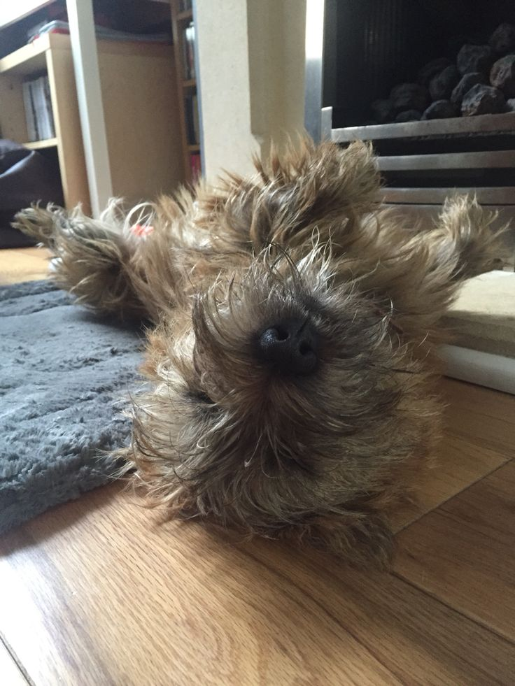 Cairn Terriers and the Art of Relaxation