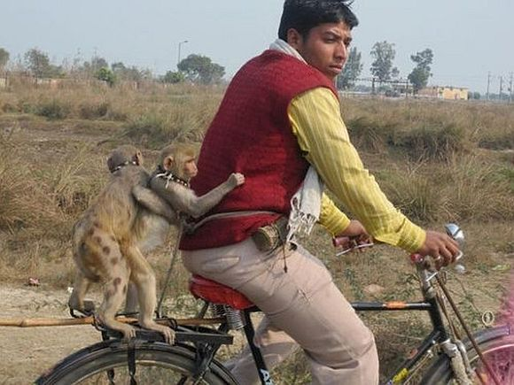 Pet monkeys go for a bicycle ride
