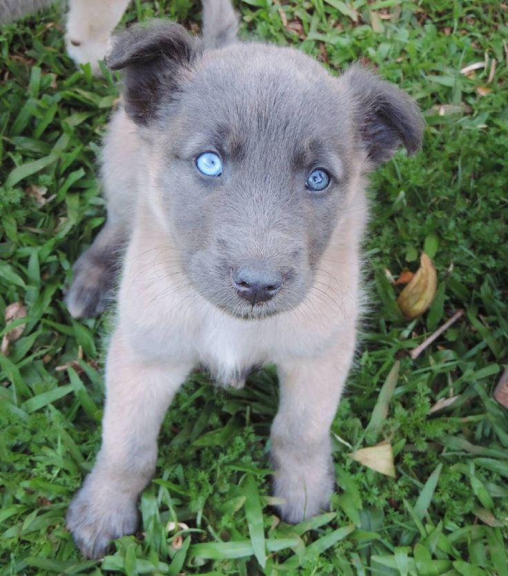 "76 curtidas, 1 comentários - Jessica Gabriela Edel 🍁 (@jess_edel) no Instagram: ""Max ❤ . . #dog #perro #cachorro #cachorrineo #chien #gos #hund #cane #koer #puppies #puppie…"""