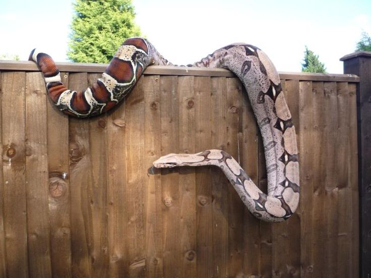 """Male Suriname boa constrictor, YOB 2007, 4 years old 7'3"""""""