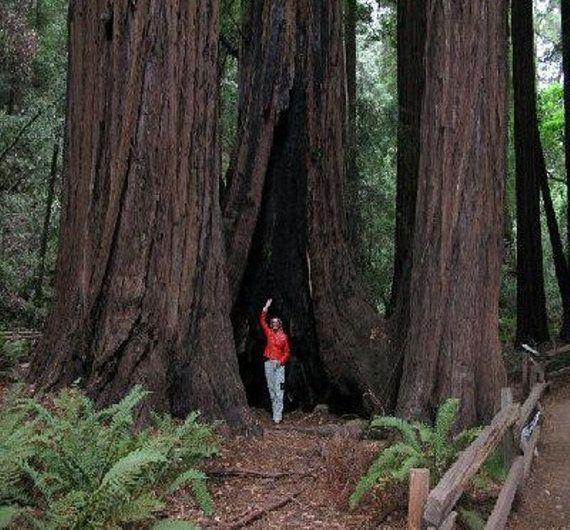 Coast Redwood Tree Seeds Sequoia sempervirens  25 Seeds